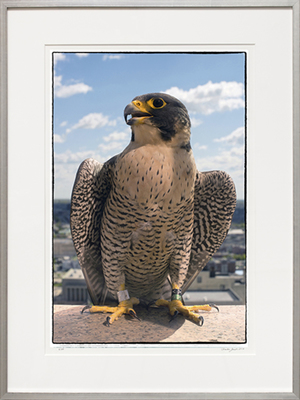 Title: PEREGRINE FALCON #1 , Size: 29.625 X 19.625; 40.25 X 30.25 , Medium: Photograph on Paper , Price: $2,100