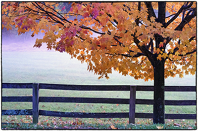 Title: AUTUMN MAPLE TREE , Size: 19.625 X 29.5 , Medium: Photograph on Paper , Price: $975