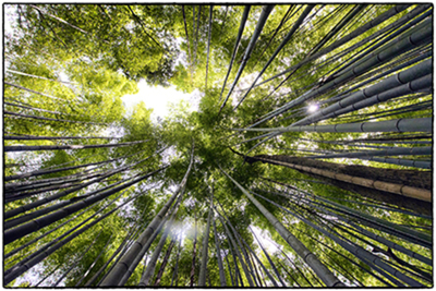 Title: BAMBOO FOREST-JAPAN , Size: 19.625 X 29.625 , Medium: Photograph on Paper , Price: $975